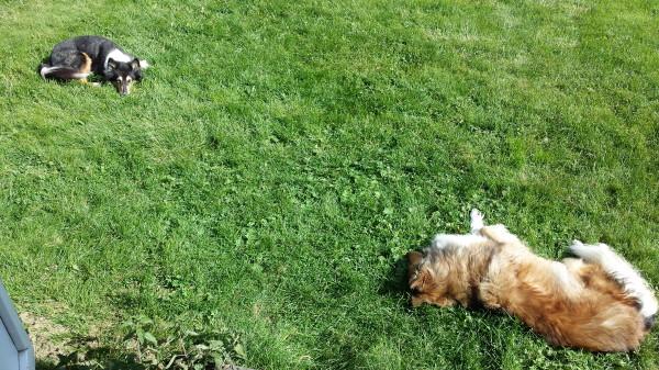 Nöjda hundar på gräsmattan medan jag städade